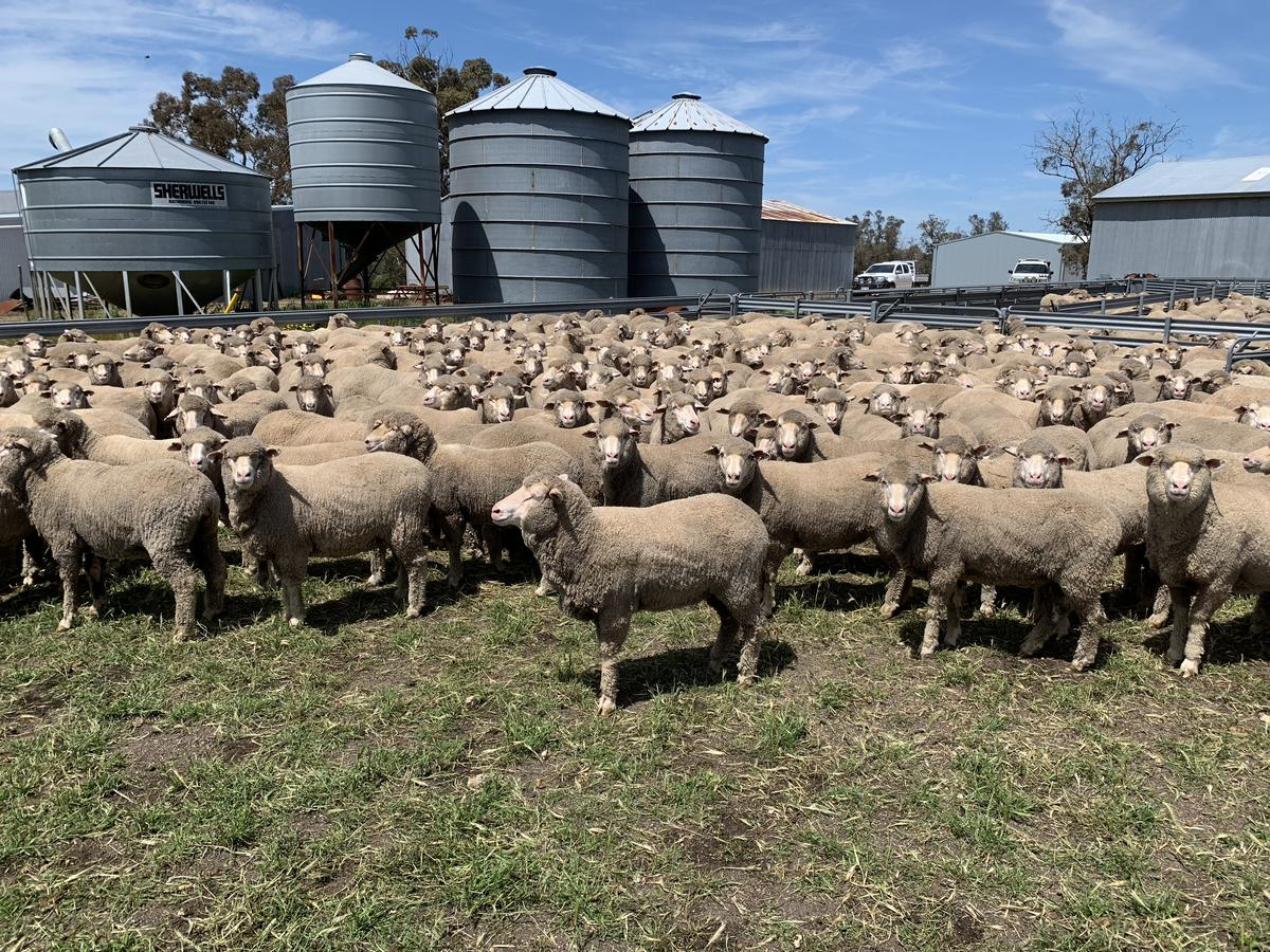 480 2 yr old Black Tag Merino Ewes 62kg ave